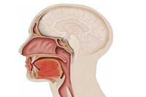 Faringe: um órgão versátil.