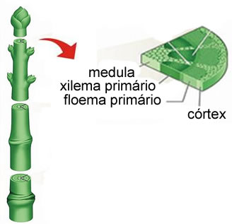 O caule constitui a estrutura física onde se inserem raízes e folhas