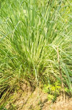 O capim-santo é uma planta medicinal que possui sua eficácia comprovada