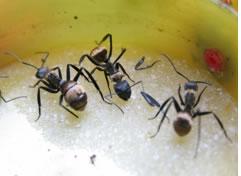 Formigas amam açúcar