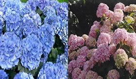 Hortênsias azuis ou rosas? O pH explica.