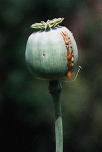 Flor da papoula, a fonte da morfina.