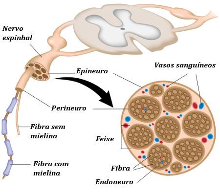 A estrutura de um nervo contém diversos elementos, como os destacados na imagem