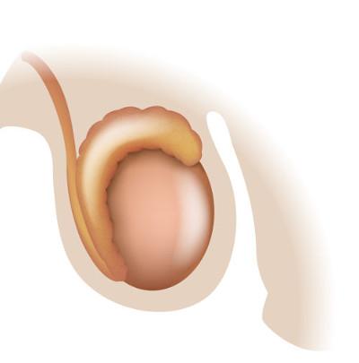 Os testículos são encontrados no interior do saco escrotal