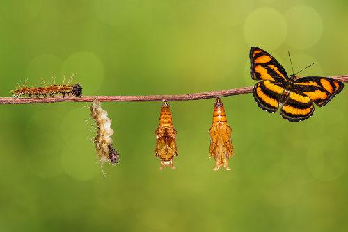 As borboletas possuem um desenvolvimento indireto