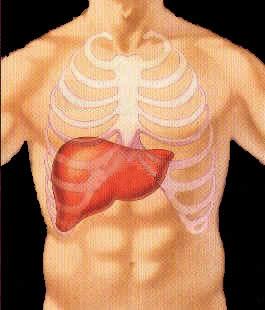 Um órgão vital do corpo humano.