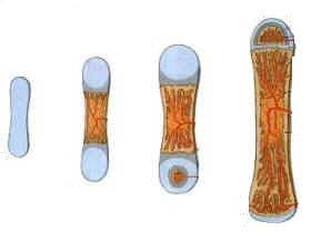 Esquema do desenvolvimento ósseo a partir de uma estrutura cartilaginosa.