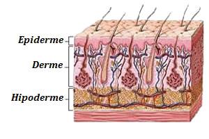 A pele e suas camadas