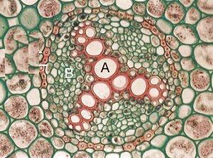 A = Xilema, B = Floema.