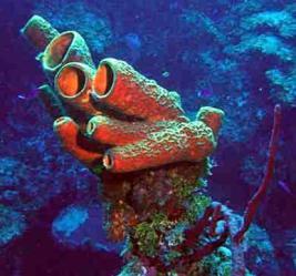Poríferos são encontrados em quase todos os ambientes aquáticos