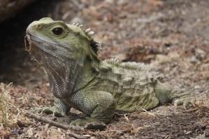 Tuatara: representante da Ordem Rhyncocephalia, encontrado somente na Nova Zelândia.