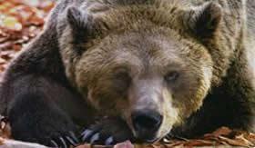 Urso: falso hibernante.