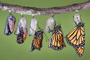 Borboleta-monarca encerrando a etapa de crisálida, tornando-se uma borboleta propriamente dita.
