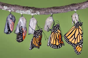 Borboleta (Ordem Lepidoptera)
