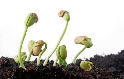 As citocininas estimulam o desenvolvimento das sementes