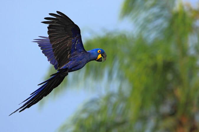 A arara-azul é uma ave grande que pode atingir até um metro de comprimento total.