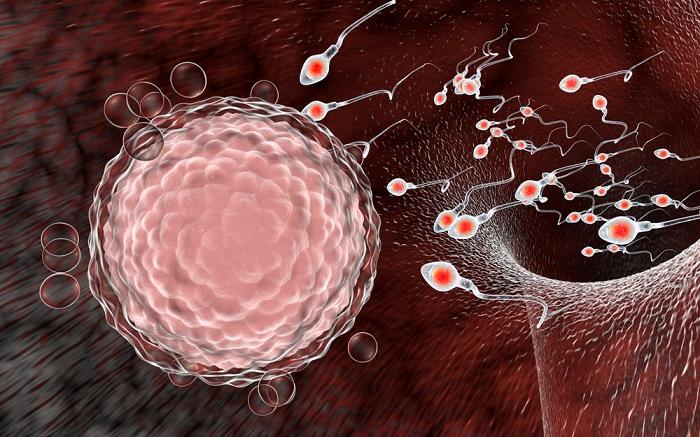O ovócito e os espermatozoides são formados por meio do processo de gametogênese.