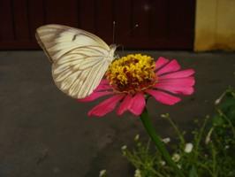 Mariposas e borboletas (Ordem Lepidoptera)