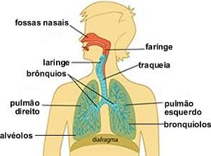Principais componentes do sistema respiratório humano