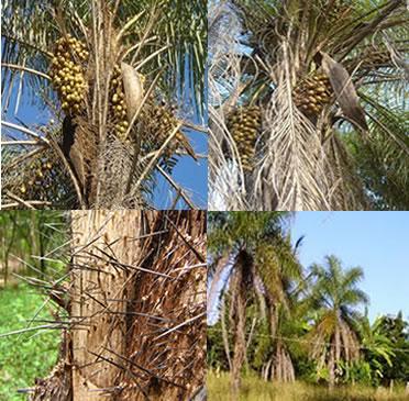 A macaúba é uma palmeira cujos frutos têm grande potencial na produção do biodiesel
