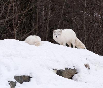 A raposa-do-ártico apresenta coloração branca, o que ajuda na camuflagem