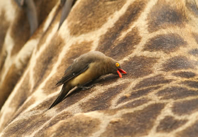 Na imagem, podemos ver um exemplo de protocooperação entre uma ave e um animal