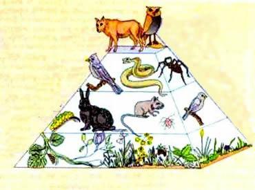 A organização dos níveis tróficos e a biomassa convertida em energia transferida de um nível ao outro.