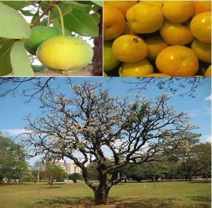 Acima, frutos maduros da cagaita; e abaixo, a cagaiteira, árvore utilizada para ornamentação