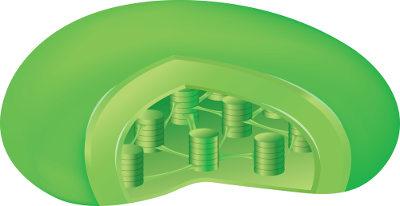 Os cloroplastos surgiram nas células eucariontes por meio de um processo de simbiose