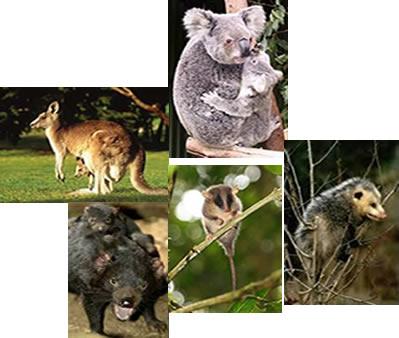 Os marsupiais são animais vivíparos, mas de placenta rudimentar e transitória