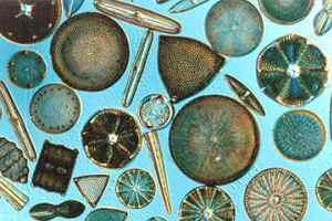 Diatomáceas: algas unicelulares do Filo Bacillariophyta.