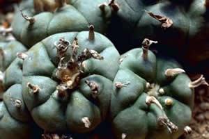 Peiote: planta alucinógena utilizada em rituais religiosos.