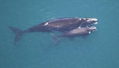 As baleias francas, também conhecidas como baleias certas pelos antigos baleeiros, eram assim chamadas por serem consideradas fáceis de caçar