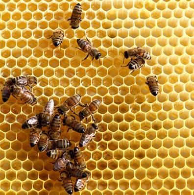 As abelhas são insetos que vivem em sociedade, um exemplo de relação ecológica intraespecífica