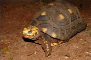 Os testudines  são os únicos vertebrados com ombros e bacia internos às costelas. Fotografia: Fabrício Oda.