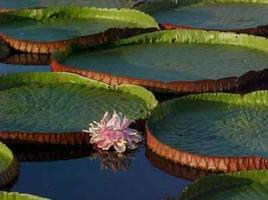 A flor da vitória-régia vive por apenas 48 horas.