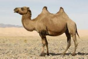 Camelus ferus: espécie que se encontra criticamente em perigo.