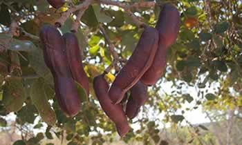 O jatobá-do-cerrado é uma árvore típica do cerrado