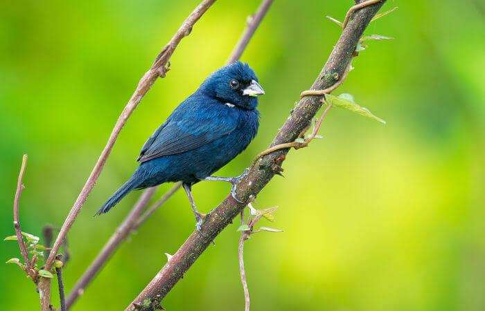 O tiziu é um exemplo de ave que também é considerada um pássaro.