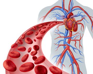 O sistema cardiovascular é responsável por levar o sangue para todas as partes do corpo