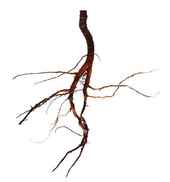 A raiz é uma importante estrutura da planta, pois permite a fixação e absorção de nutrientes