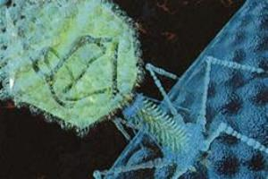 Bacteriófago T4.