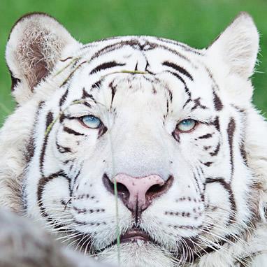 O albinismo pode ocorrer em qualquer espécie animal
