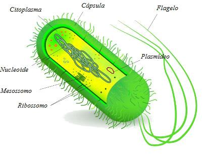 Plasmídeo é uma molécula de DNA extracromossômica