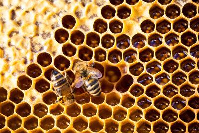 A abelha-rainha determina o nascimento de indivíduos machos ou fêmeas