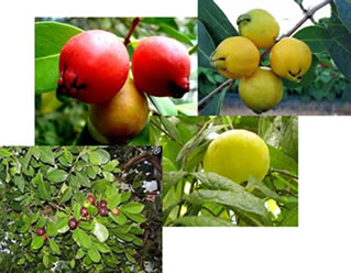 O araçá é uma fruta da mesma família da goiaba, por isso apresentam semelhanças.