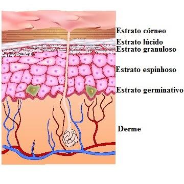 Camadas da pele. Caracterização das camadas da pele - Mundo Educação dd4e6c9965