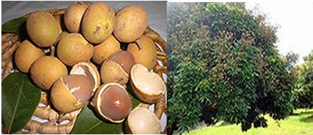 A pitomba é um fruto que possui uma casca dura, mas quebrável, e sua árvore pode atingir até 12 metros de altura