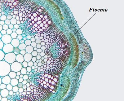 O floema é um tecido de condução dos vegetais