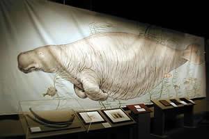 Reconstituição da vaca marinha: sirênio extinto no século 18.